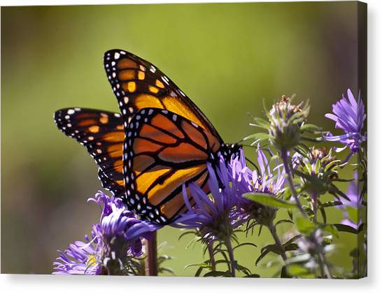 Ms. Monarch Canvas Print by Ross Powell