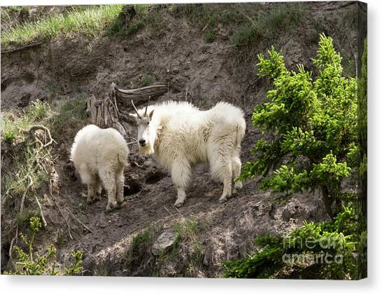 Mt Goat Outing Canvas Print