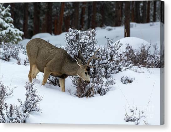 Mule Deer - 9130 Canvas Print