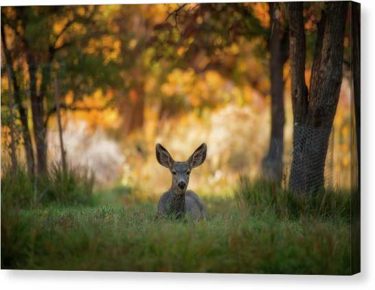 Mule Deer In Apple Orchard Canvas Print