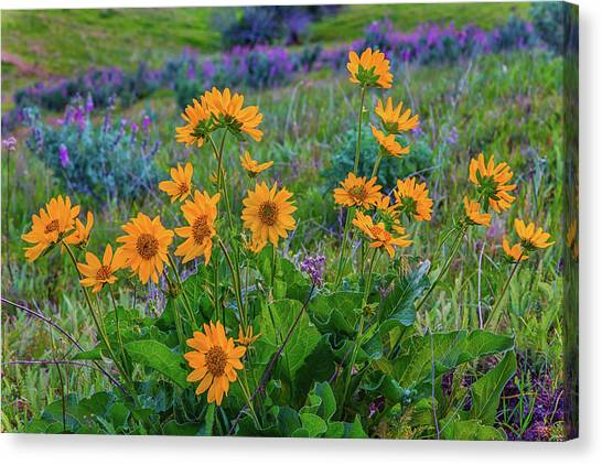 Mule's Ear And Lupine Canvas Print