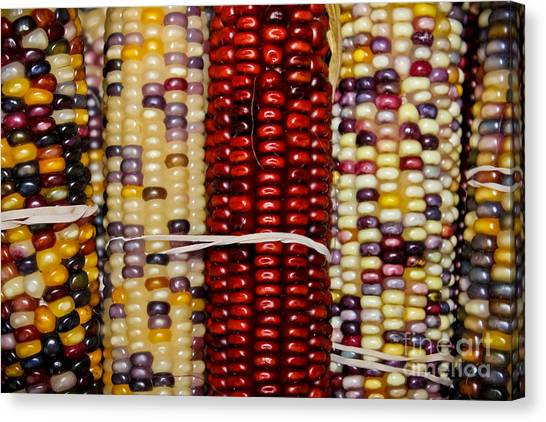 Indian Corn Canvas Print - Multi-colored by Colleen Kammerer