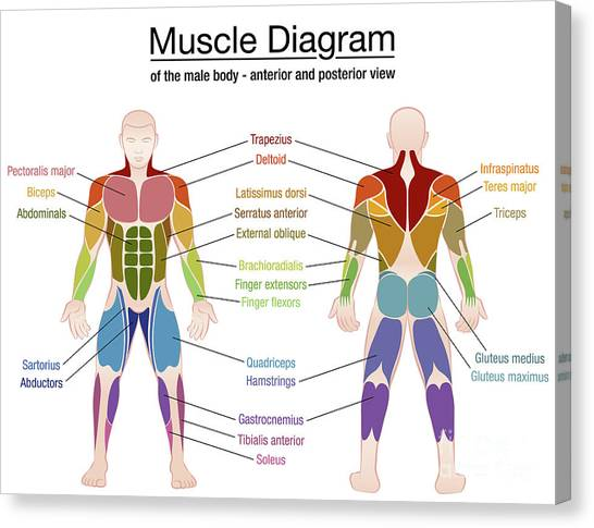 Contemporary Deltoid Muscle Diagram Crest - Anatomy And Physiology ...