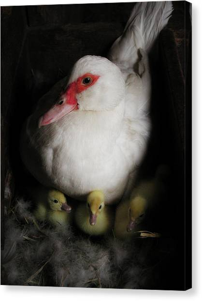 Muscovy Mother Canvas Print by Laurie With