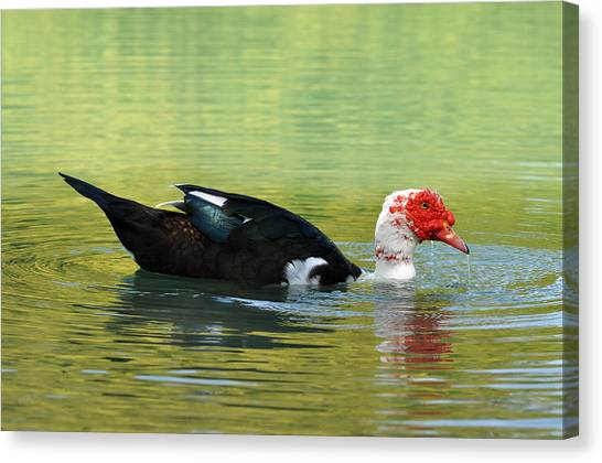 Muscovy Red Canvas Print by Teresa Blanton