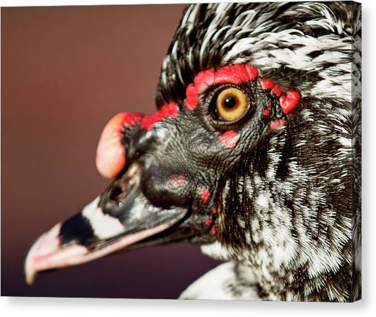Canvas Print featuring the photograph Muscovy by Sue Collura