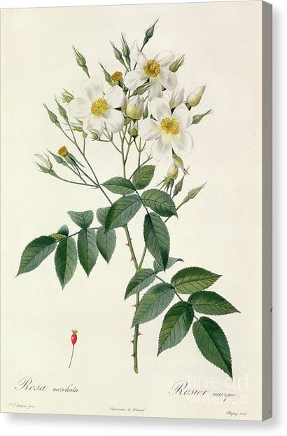 Rose In Bloom Canvas Print - Musk Rose by Pierre Joseph Redoute