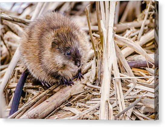Muskrat Ball Canvas Print