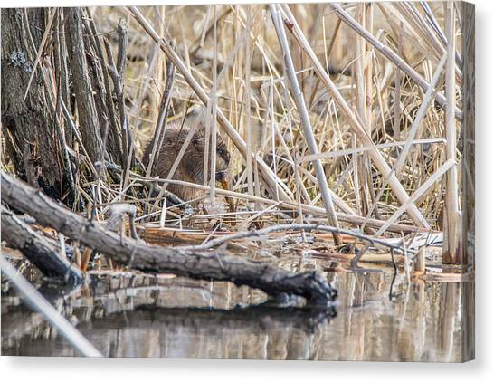 Muskrat Eating A Fish Canvas Print