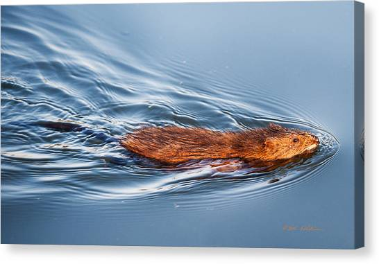 Canvas Print featuring the photograph Muskrat Speed Swiming by Edward Peterson