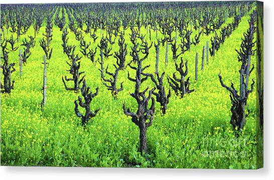 Mustard Flowers In The Vineyards Canvas Print