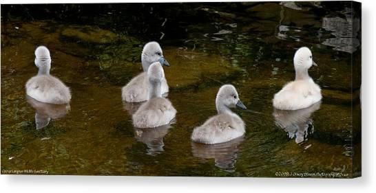 Mute Swan Babes Canvas Print