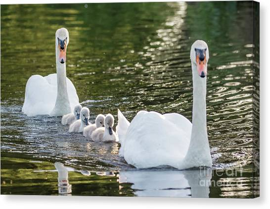 Mute Swan - Cygnus Olor -  Adult And Cute Fluffy Baby Cygnets, Swim Canvas Print