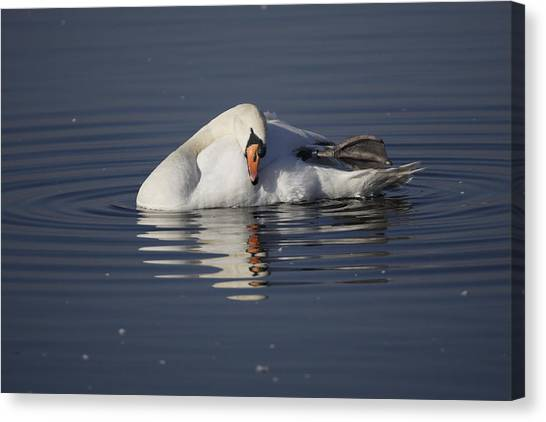Mute Swan Resting In Rippling Water Canvas Print