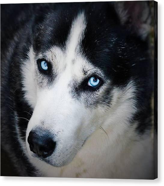 Huskies Canvas Print - My #blue #eyes #siberian #husky Looking by Richard Atkin