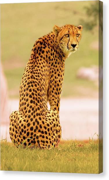 My Cheetah Canvas Print