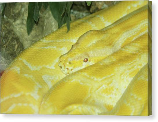 Burmese Pythons Canvas Print - My Favorite Color by Craig Hosterman