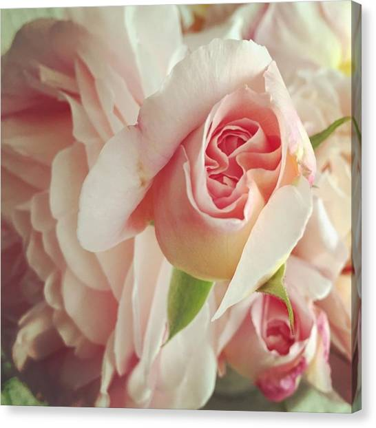 Roses Canvas Print - Abraham Darby by Nancy Ingersoll