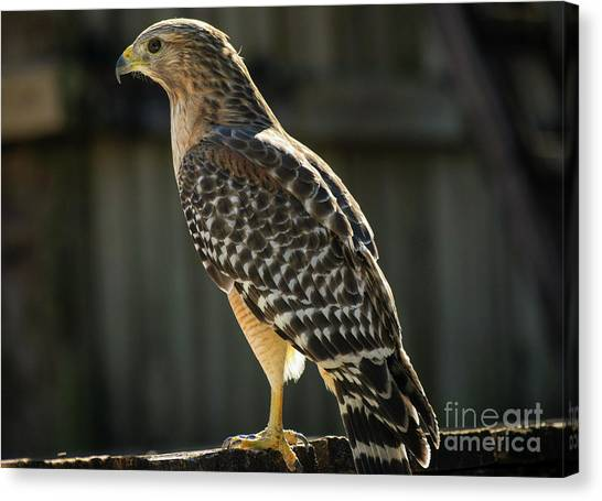 My Lucky Hawk Canvas Print