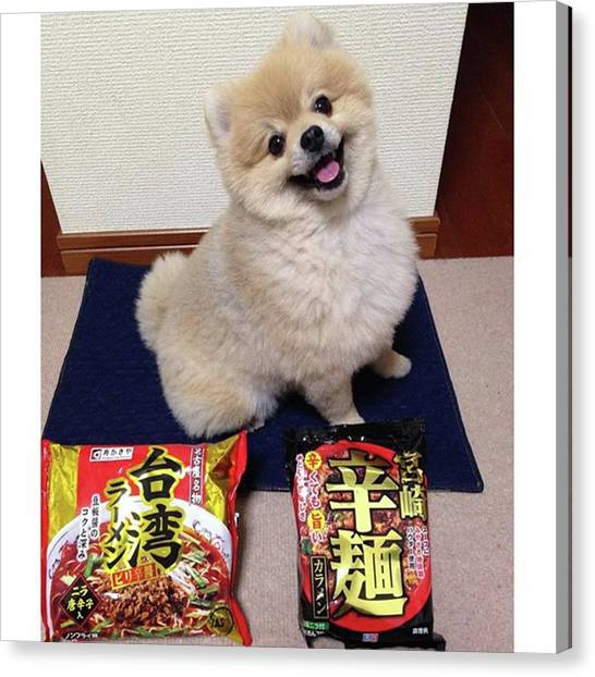 Pomeranians Canvas Print - My Mom Really Loves Extremely Hot by Masato Fukai