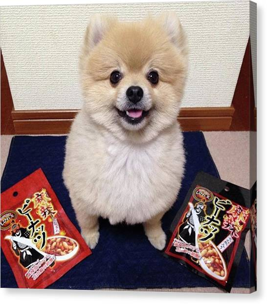Pomeranians Canvas Print - My Parent's Really Into These by Masato Fukai