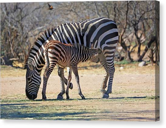 Zebras Canvas Print - My Valentine by Donna Kennedy