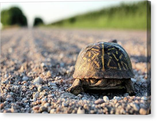 Box Turtles Canvas Print - My Work Is Done Here by JC Findley