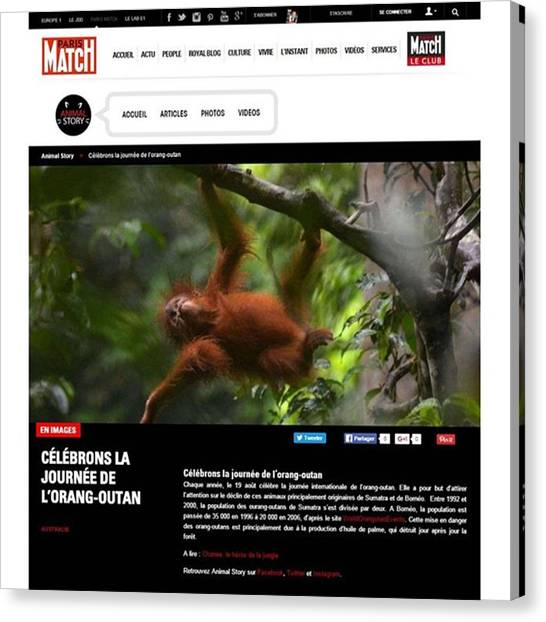 Orangutans Canvas Print - My Work Published @parismatch_magazine by Nurcholis Anhari Lubis