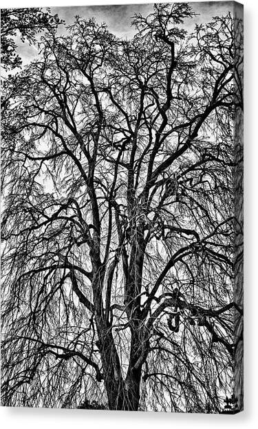 Naked Tree On Capitol Hill Canvas Print