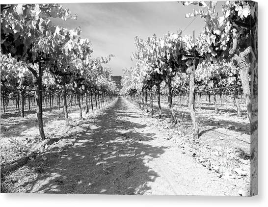 Black and white grape vineyard canvas print napa vineyard in bw by mary haber