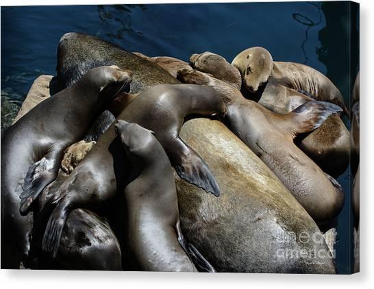 Napping Atop A Massive Sea Lion Canvas Print