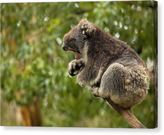Koala Canvas Print - Naptime by Mike  Dawson