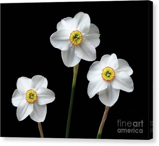 Narcissus 'poeticus' Canvas Print