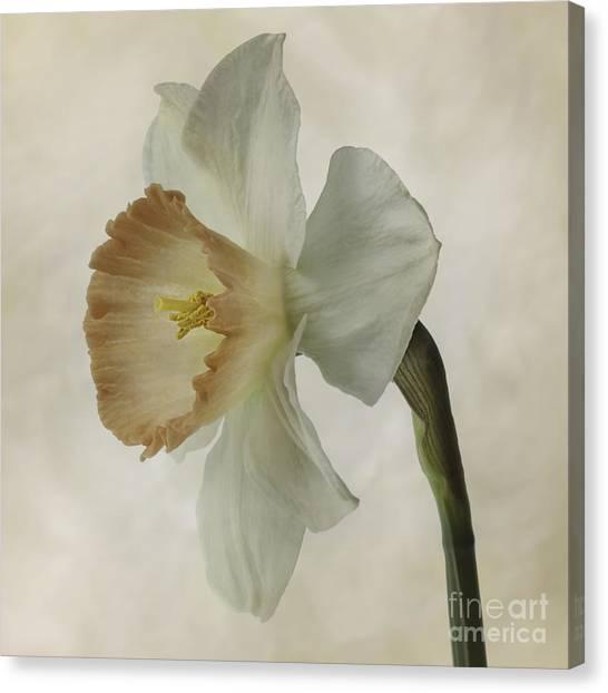 Narcissus 'precocius Canvas Print