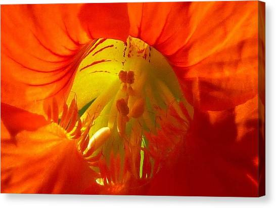 Nasturtium Inner Light Canvas Print by Lori Seaman