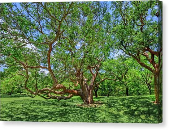 Gumbo Canvas Print - National Champion Gumbo Limbo Tree  -  Championgumbolimbotree135360 by Frank J Benz