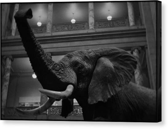 Smithsonian Institute Canvas Print - National Museum Of Natural History African Elephant Bw by Kyle Hanson