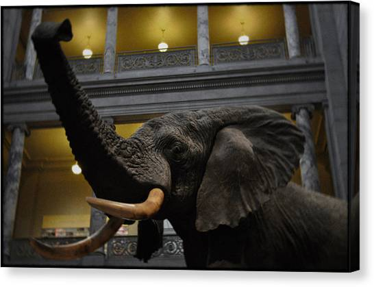 Smithsonian Institute Canvas Print - National Museum Of Natural History African Elephant by Kyle Hanson
