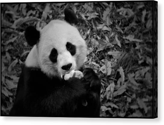 Smithsonian Institute Canvas Print - National Zoo Giant Panda by Kyle Hanson