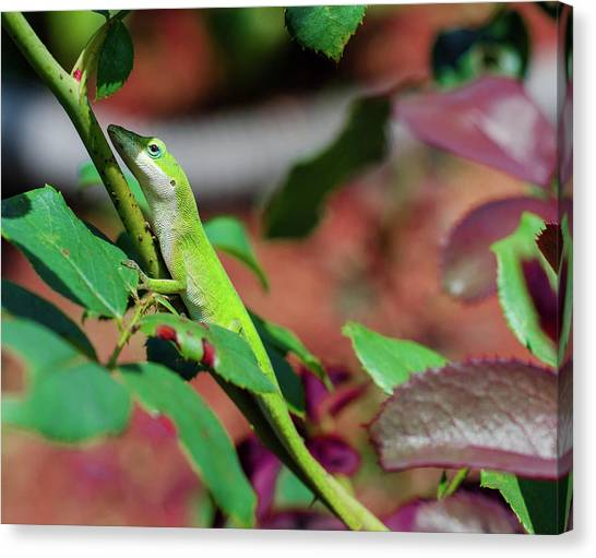 Native Anole Canvas Print