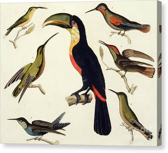Toucans Canvas Print - Native Birds, Including The Toucan From The Amazon, Brazil by V Raineri