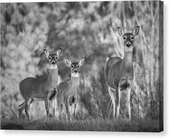 Twin Fawns Canvas Print - Natural Strength by Parker Cunningham