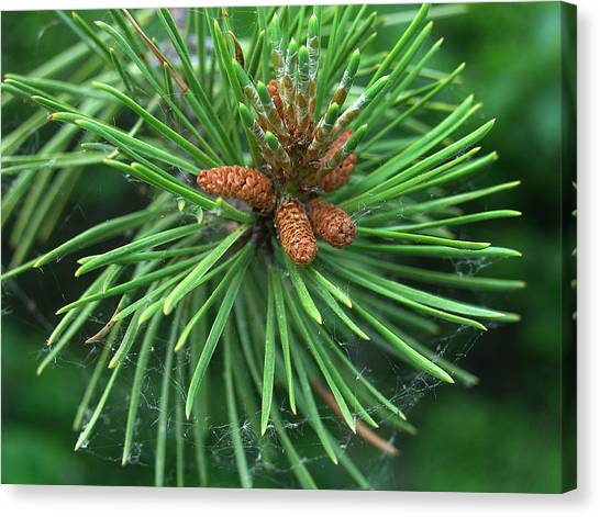 Nature's Delicate Web Of Resin At Needle's Birth Canvas Print by Terrance DePietro