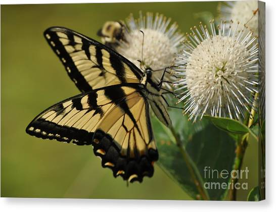 Natures Pin Cushion Canvas Print