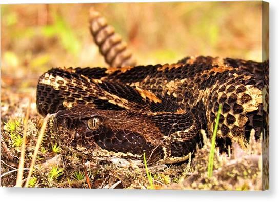 Timber Rattlesnakes Canvas Print - Nc Timber Rattlesnake by Joshua Bales