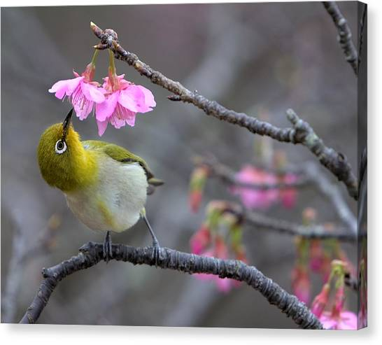 Warblers Canvas Print - Nectar by Karen Walzer