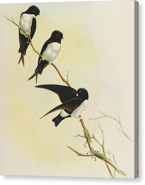 Swallow Canvas Print - Nepal House Martin by John Gould