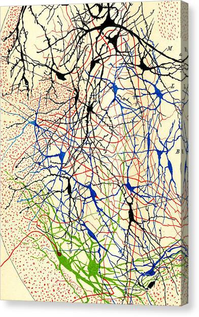 Brains Canvas Print - Nerve Cells Santiago Ramon Y Cajal by Science Source