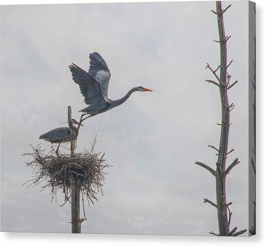Nesting Great Blue Heron Canvas Print