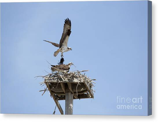 Nesting Osprey In New England Canvas Print